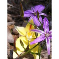 Cowsip Orchis Fringed Lillies Plants Flowers Plant Flower