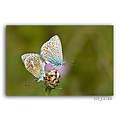 macro glassicas butterfly