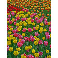 tulips flowers colour