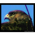 nature bird buzzard animalsfriday animalfriday carlsbirdclub feathers
