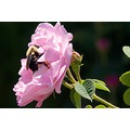 Pollinate Bee Pink Rose Flower