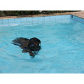 Dog Pool Rottweiler