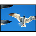 Scarbrough Bradley Florida seagull bird birds gulls laughing