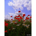 Poppies Daisies sky clouds