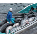 Dolphin mass murder. The only way to show the truth is by shocking !