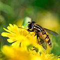 nature insect bug hoverfly flower yellow closeup macro
