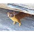 Long-tailed Weasel, II, July 26, 2008