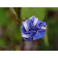 flower morningglory