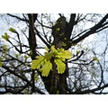 oak leaves tree spring