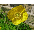 welsh poppy
