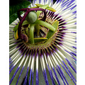 passion fruit flower france