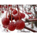 Berries red Winter Frost
