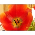 a tulip from my daughter in law