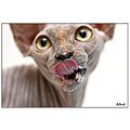 oriental cat cats pet pets siamese siam cattery canadian sphynx