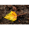 autumn leaves leaf gold yellow orange woods walk forest fall nature
