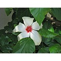 White hibiscus in my Hawaiian friends house