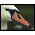 nature bird swan muteswan feathers
