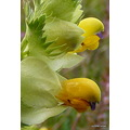 Greateryellowrattle Greater yellow rattle rare wildflower flower nature