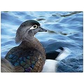 watercolor effect wood duck female