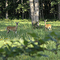 deer wildlife animals