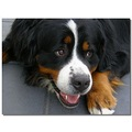 netherlands vierhouten animal dog bernese castor nethx vierx animx dogx