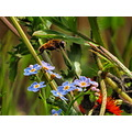 Hoverfly over forget me nots