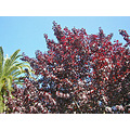 summer plum plum tree bluesky myoaklandfph