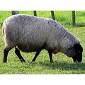 sheep animal farmanimal