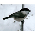 tit bird snow winter