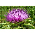 flower purple mountain thistle eltorcal home andalucia spain