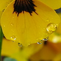 poemswednesday drop rain violet macro