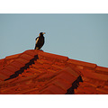bird magpie roof 2009 lookout perth littleollie