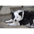 Dogs Border Collies
