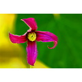 alpine clematis violet green yellow closeup