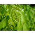 fresh green leaf drops water curryleaves