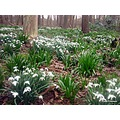 Snowdrops Clifton Woods