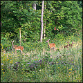 deer doe fawn nature whitetail