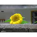 iran nature autumn mazandaran kojour kandelous flower sunflower
