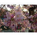 sakura japanese cherry