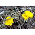 coltsfoot first spring