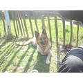 dog german shepard sun fence summer garden