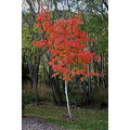 Cool Contrasting Early Autum Colours - These trees have a differing opinion of what time of the y...