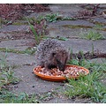 Hedgehog eating food