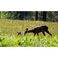 wildlide roe deer young fawn scotland
