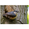 Wildlife natural history bird Nuthatch spideyj