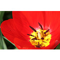 garden tulip flower nature red spring