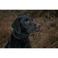 labrador dog gun dog working dog