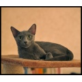 holly cat russianblue