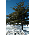 stlouis missouri us usa plant tree pine sky blue winter snow 2007
