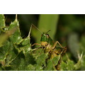 grasshopper cricket closeup macro insect